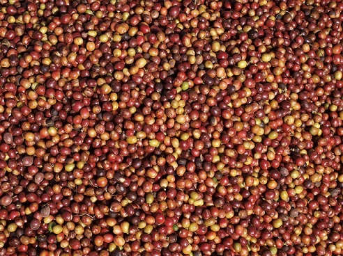 rote Kaffeekirschen