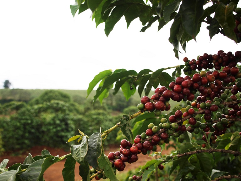 rote und grüne Kaffeekirschen am Kaffeebaum in Kenia